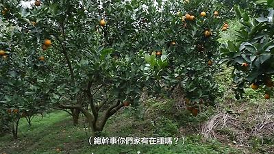 芎林柑橘之美10802